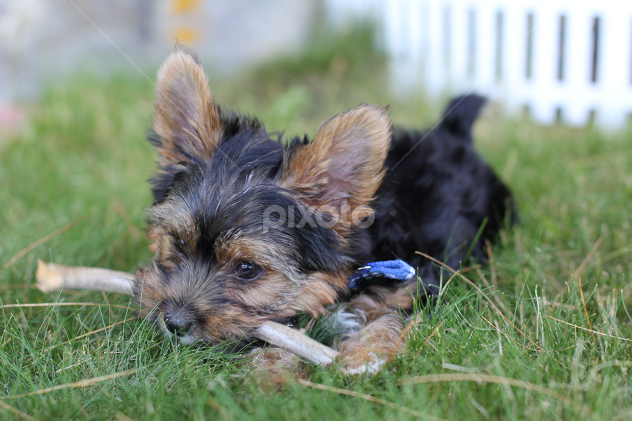 Yorkie Puppy playing with a stick by Kathy Ahearn - Animals - Dogs Puppies ( playing, stick, yorkshire terrier, outdoor, puppy, york, dog )