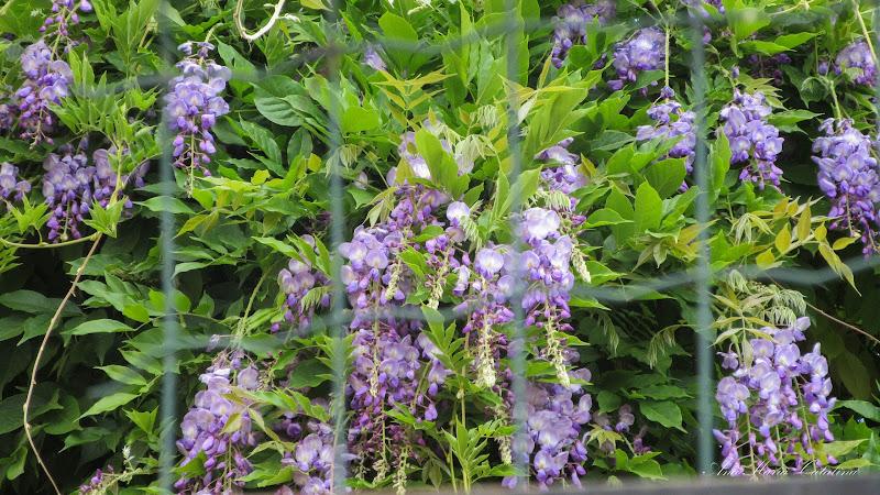 Photo: Glicina (Wisteria sinensis) - de pe str. Dacia - 2015.07.01 album http://ana-maria-catalina.blogspot.ro/2016/04/glicina-wisteria-sinensis.html