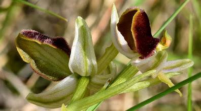 Photo: Ophrys cilentana