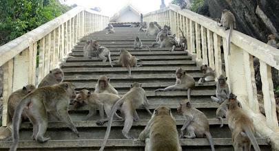Photo: Temple Monkeys