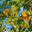 Pair of Prothonotory's by Mike Scott - Animals Birds ( in tree, singing, yellow, prothonotory, birds, warbler )