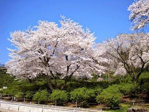 Photo: 西山公園の満開桜