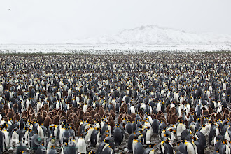 "Photo: King-scape Set the context for your wildlife portfolio with wide landscape shots  The great king penguins of South Georgia are a sight to behold, the air is ripe with the caustic smell of penguin guano, and saturated with the sound of the 200,000 king penguins that reside in the King colony of Salisbury plains. Seams of brown fluffy penguin chicks make up penguin rookeries (penguin daycare) that are scattered throughout the colony. Penguins and many birds identify each other by their voiceprint alone, making constant calling by many penguins a necessity to find one another amongst the crowd.  Strangely enough when I arrived here earlier in the day the ground was bare during this particularly warm summer. Soon the clouds came in, and spilled open their fluffy white contents over the land making this antarctic island feel much more like it does the rest of the year.  Photographic Details: Shot with a 16-35mm lens at f9 to create a high depth of field. I stuck with the rule of thirds and had the white mountains and sky on the upper third, emphasizing the sheer size and number of penguins in the lower two thirds. It's important to decide where you want to place emphasis, when presented with a horizon you can choose either sky or foreground. A centered horizon can make the viewer feel awkward because of a struggle to find the emphasis or meaning in a photo. Other images with a lot of symmetry or reflections on the water can be quite calming with a centered horizon. These ""rules"" are meant to be broken, they just give you a good place to start when thinking about composition, and composition is 98% of a good photo!"