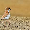 Batuíra-de-coleira (Collared Plover)