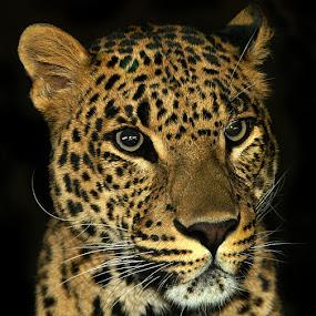 leopard by John More - Animals Lions, Tigers & Big Cats ( big cat, cat, close up, portrait, leopard )