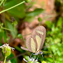 Olena Clearwing
