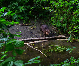 Photo: Large adult male Beaver heading back to the river from a favourite feeding spot where there are Vine Maple left- overs from previous meals.