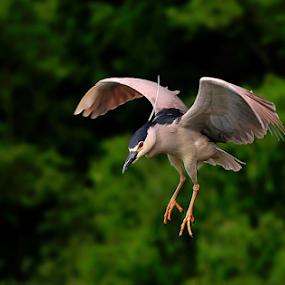 The attack by Ion Alexandra - Animals Birds ( night heron,  )