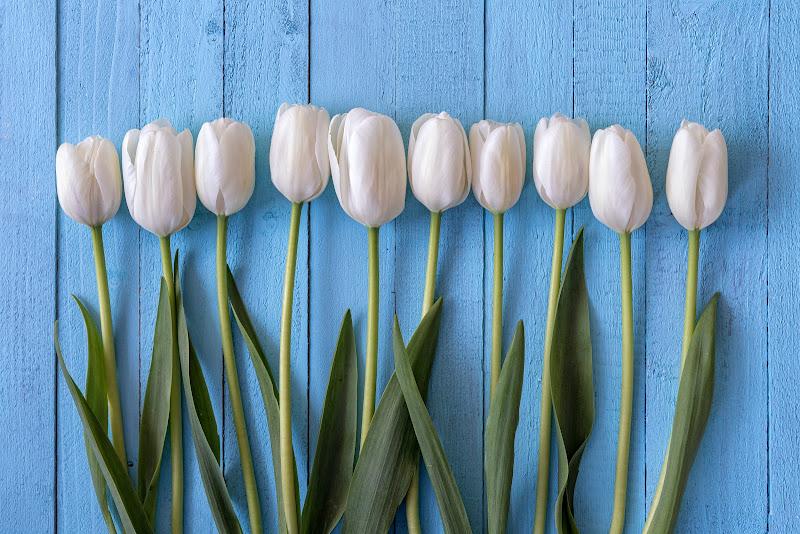 Tulipani di wallyci