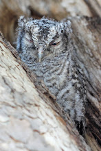 Photo: Whiskered Screech-Owl (fledgling 2)