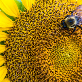 Bee With You by Thomas Shaw - Flowers Flowers in the Wild ( north carolina, bee, yellow, nikon d7200, sun, sunflower, sun flower, flower, raleigh, nikon, plants, wings, plant, insect, garden, photography )