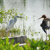 Little Blue Heron (immature) and Tricolored Heron