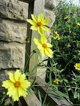 Photo: Little yellow flowers growing by a stone wall at Wegerzyn Gardens in Dayton, Ohio.