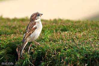 Photo: House sparrow on a hedge in Potsdam (Germany) for #wildlifewednesday by +Mike Spinak.