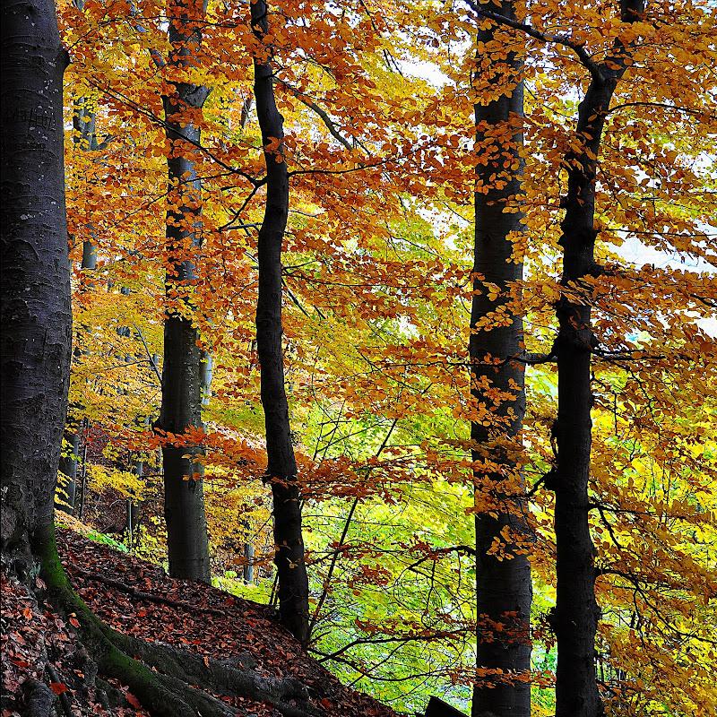 Foliage autunnale di carlobaldino