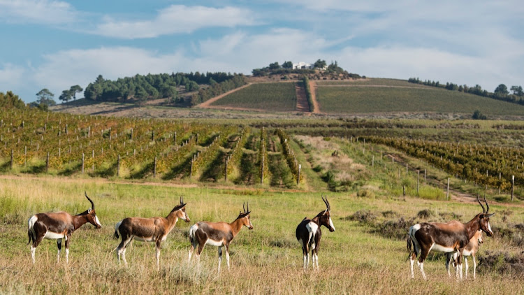 Bontebok grazing at Vergelegen estate