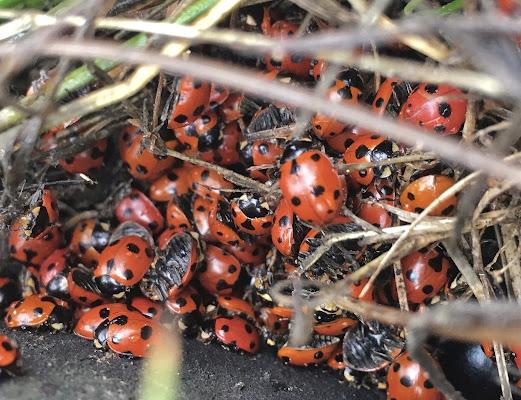 Ladybugs 🐞🐞🐞🐞🐞 di francesco_scassellati