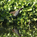 Common Gallinule - juvenile