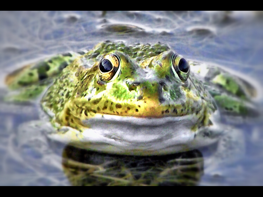 Spanish Frog!!! by Connor Heron - Animals Amphibians