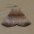 Mini owlet moth