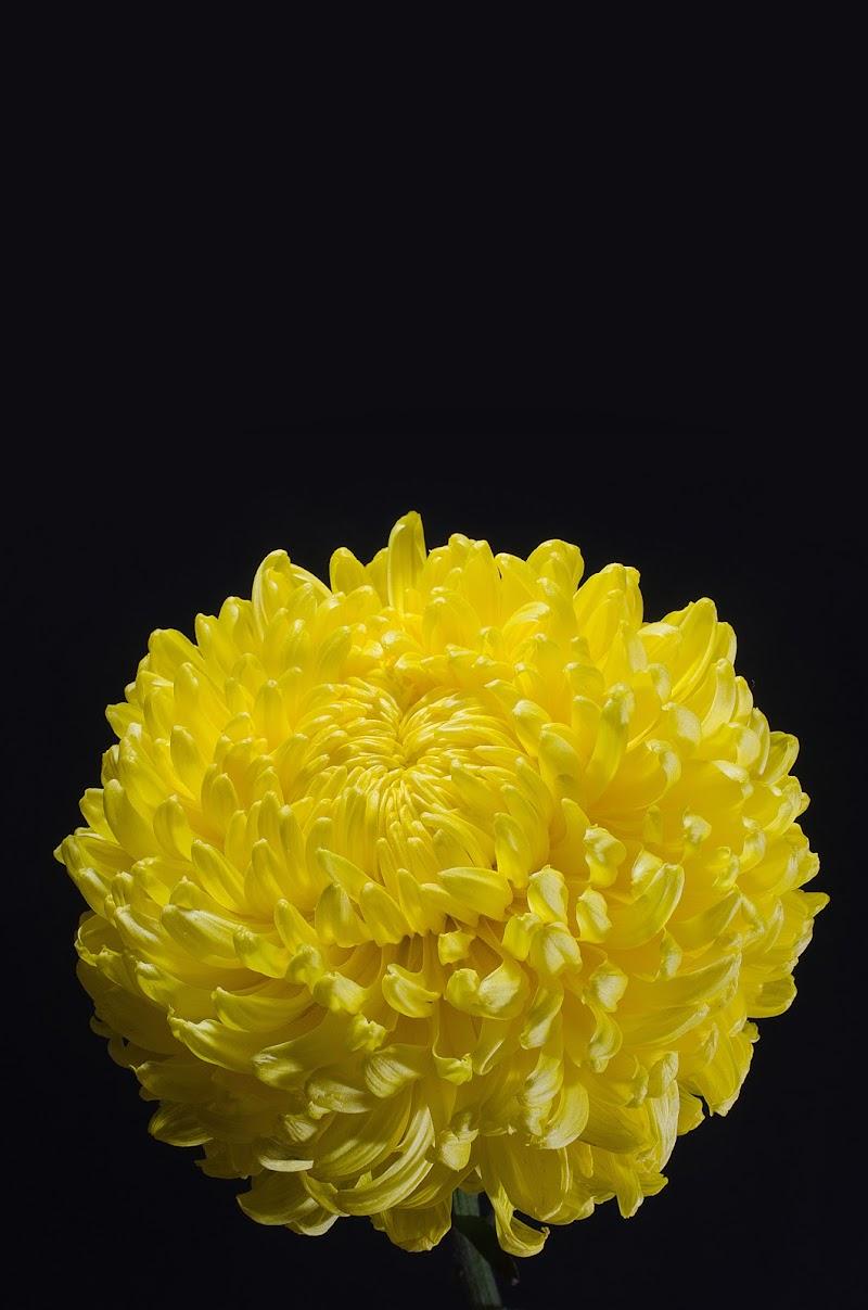 crisantemo di Rans78