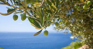Un olivo con el mar Mediterráneo al fondo.