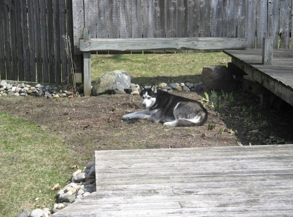 Raptor spends her time patroling the house and back yard for anything out of...