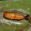 Pupae Moth
