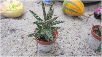 Photo: Cactuși (Cactaceae) - expus spre vanzare la Dedeman - 2018.10.19