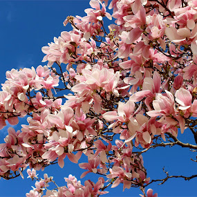 Pink flowering tree. by Peter DiMarco - Flowers Tree Blossoms ( pink flower, trees, nature up close, flowers, floral,  )