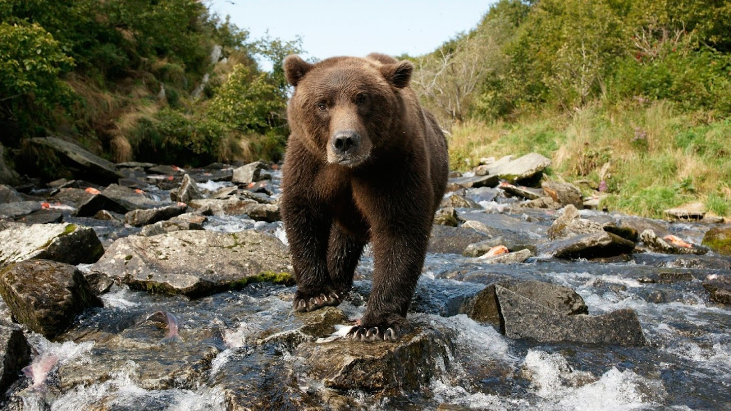 Watch Alone among Grizzlies with Richard Terry live