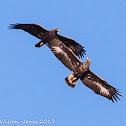 Golden Eagle; Aguila Real