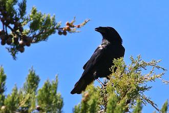 Photo: Palm Crow