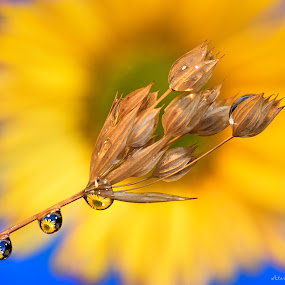 Macro 1 by Atanas Donev - Nature Up Close Other Natural Objects ( macro, drops, reflection in drops, yellow, flower,  )