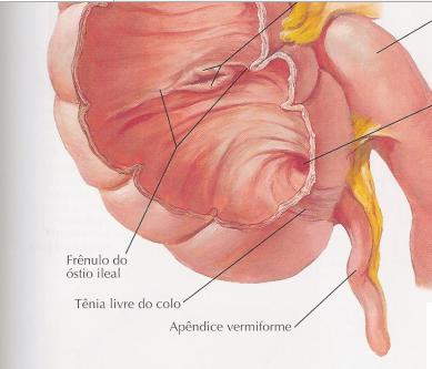 Apêndice. Fonte: Netter. Atlas de anatomia humana. 5d.