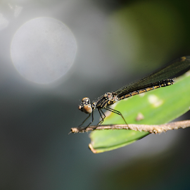 Libellago lineata by Deny Afrian Wahyudi - Animals Insects & Spiders ( dragonfly, denywahyudi, bidoversity, darmselfies, canon )