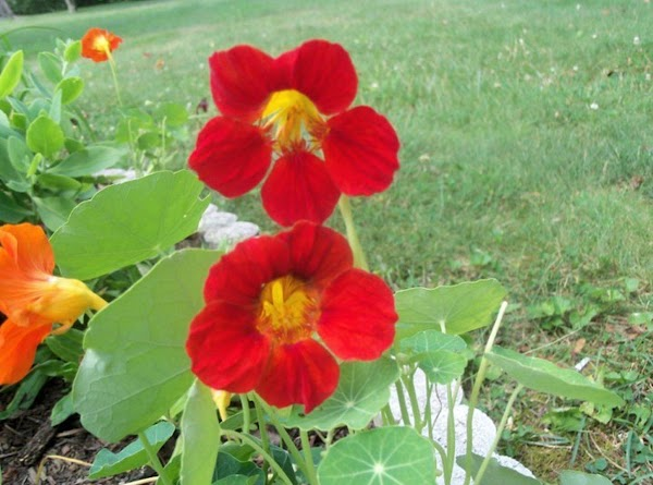 6. Nasturtiums, one of my favorite plants and they are so easy to grow...