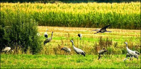 """Photo: Doch fliehet vor dem Sonnenlicht. Da hört man auf den höchsten Stufen Auf einmal eine Stimme rufen: """"Sieh da! Sieh da, Timotheus, Die Kraniche des Ibykus!""""    Die europäischen Graukraniche (Grus Grus) ziehen auf verschiedenen Routen von Skandinavien nach Spanien und Portugal (2000-6000km). Hier auf den Maisfeldern in Mecklenburg-Vorpommern legen die Zugvögel eine Pause ein.  The Cranes of Ibycus (Die Kraniche des Ibykus, original name Die Kraniche des Ibycus) is a ballad by Friedrich Schiller, written in 1797, the year of his friendly ballad competition with Goethe. It is set in the 6th century BC and is based on the murder of Ibycus."""
