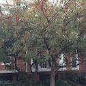 Dog wood tree