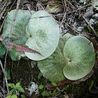 Staghorn Fern (lithophytes)