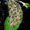 Black Weaver Ants