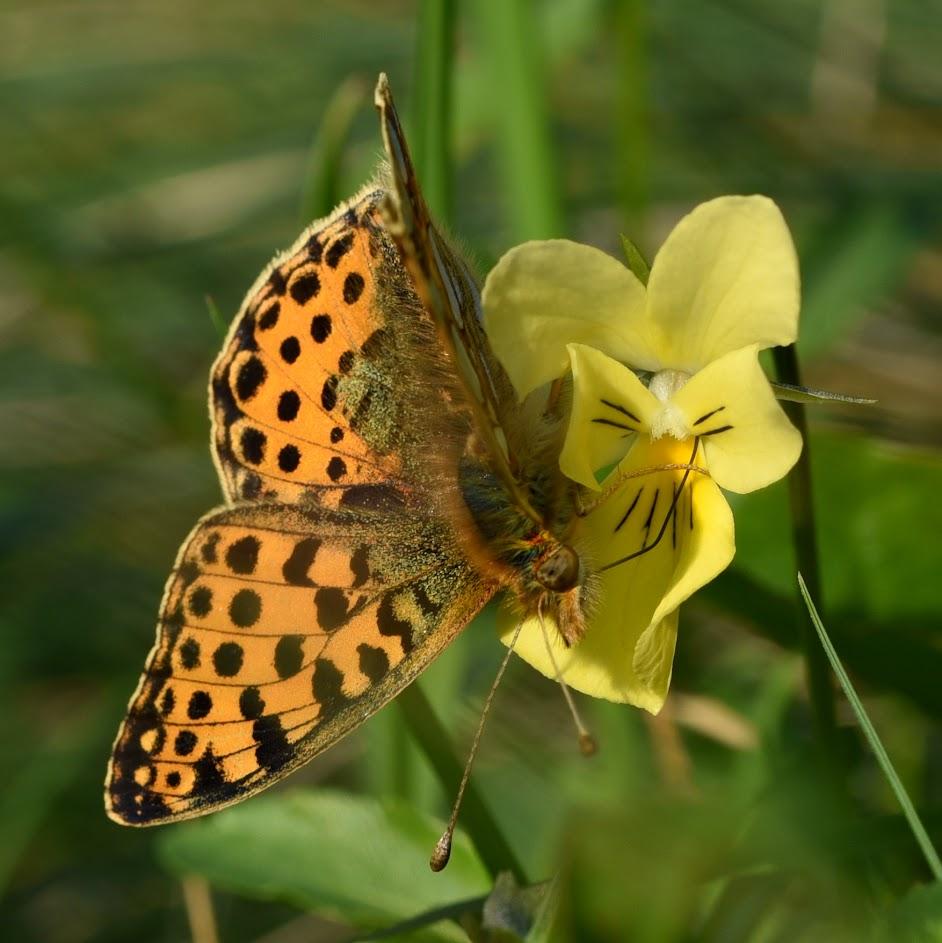 Kleine parelmoervlinder - Issoria lathonia