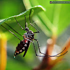 White-bellied mosquito