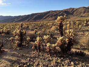 Photo: Cholla Cactus Garden, Joshua Tree National Park
