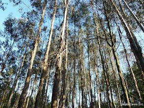 Photo: Grands eucalyptus...et leur parfum