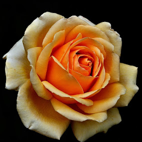 rose by Mihaly Istvan - Nature Up Close Flowers - 2011-2013
