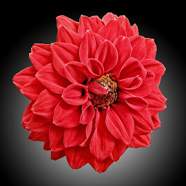 AYLI dahlia 86 by Michael Moore - Flowers Single Flower (  )