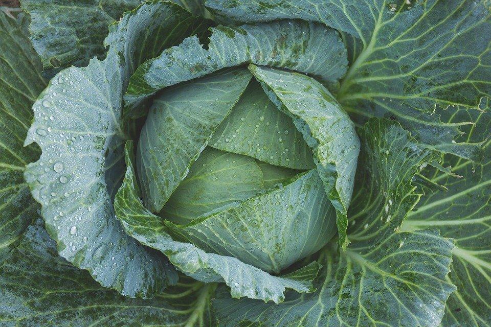 Verduras repolho
