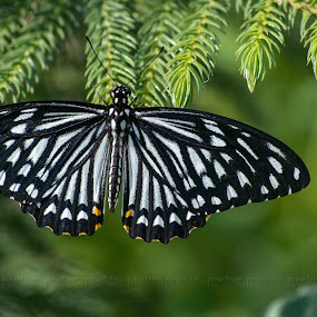 Common Mormon by Prabir Adhikary - Animals Insects & Spiders ( common mormon, butterfly, resting, contrasting colours, butterfly resting on leaf, close up of a butterfly, butterfly on leaves,  )