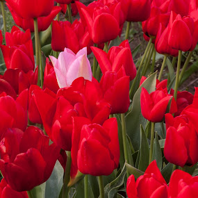 Singled Out by Craig Pifer - Nature Up Close Flowers - 2011-2013 ( oregon, red, pink, tulips, floral, flower, wooden shoe tulip farm )
